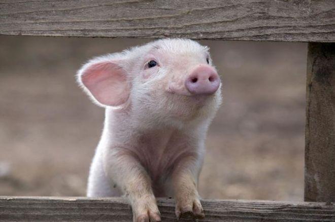 В Украине стало больше свиней