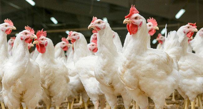 Украина угодила вТОП-з лидеров поэкспорту мяса птицы вЕС
