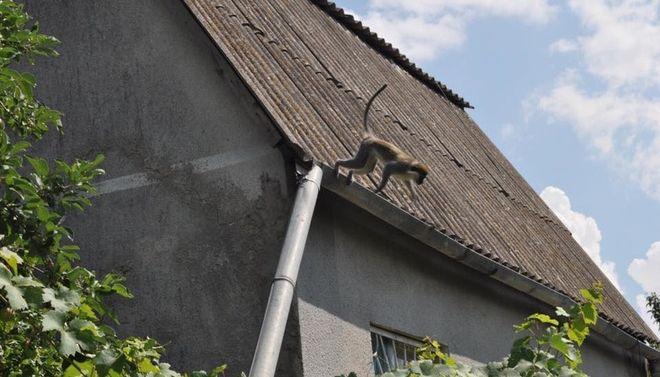 В Одесской области обезьяны терроризируют местных жителей