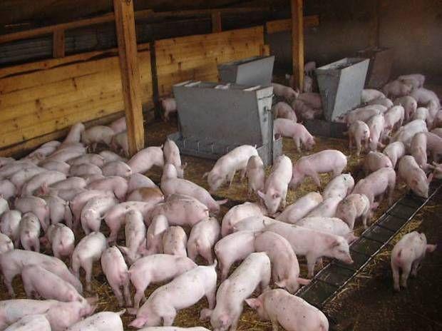 В Украине будут выращивать датских свиней по швейцарским технологиям